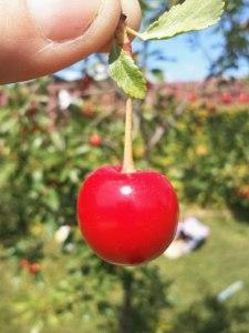 Cherry from my Great Northern British Columbia Garden