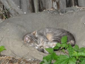 Barkerville Cat