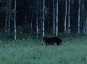 Bear Capture
