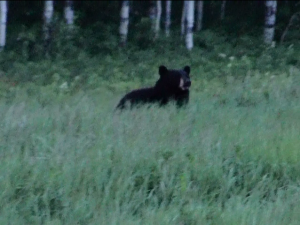 Bear Capture1