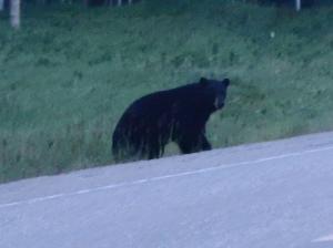 Bear Capture2