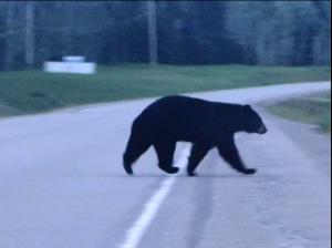 Bear Capture4